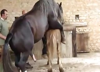 Two horses having nice sex in doggy pose