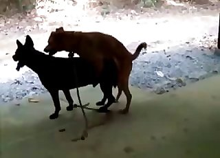 Two dogs fucking like crazy outdoors